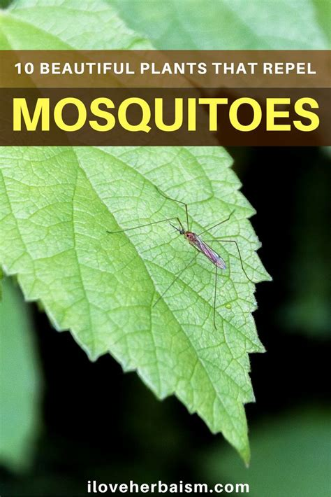 1000 ideas about repel mosquitos on pinterest