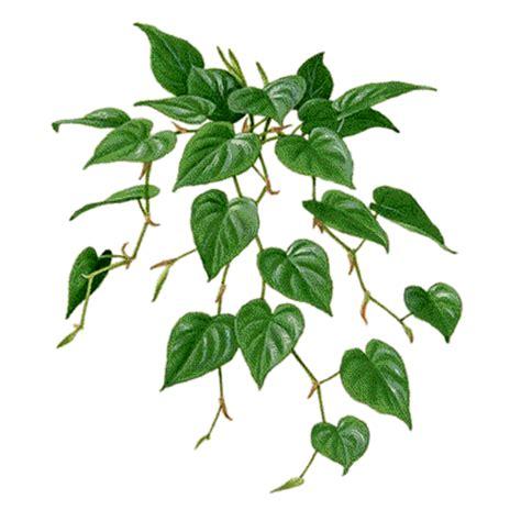 vining house plants araceae or arum family