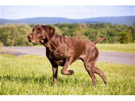german shorthaired pointer puppies for sale in va german shorthaired pointer puppies in virginia