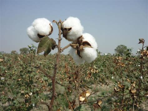 Atomix Cotton Organic Kapas Organic cotton likely to be pressure till month end