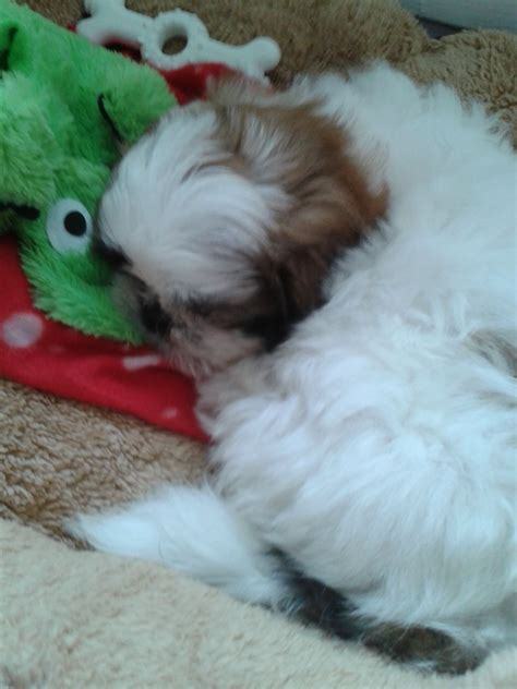 9 week shih tzu for sale 9 week shih tzu middlesbrough pets4homes