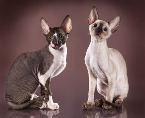 Cat Breeds 101: The Cornish Rex   GreenGato.com