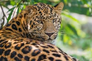 Jaguar Information And Facts Amazing Facts About Jaguar All Animal Facts