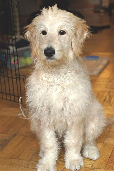 goldendoodle puppy grooming goldendoodle boomer grooming idea things i like