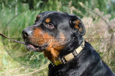 all about rottweilers 1000 images about awesome rottweiler collars on leather collar leather