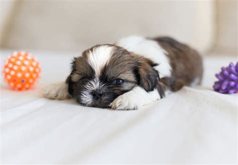 where to buy a shih tzu shih tzu puppies to buy assistedlivingcares