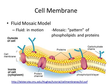 mosaic pattern protein cell structure and function ppt download