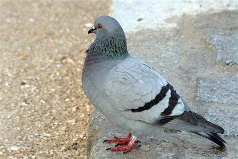 pigeons greenshield pest control