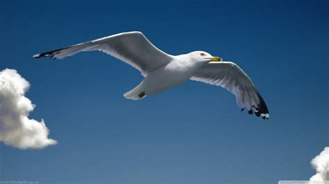 il gabbiano jonathan livingston frasi pi禮 2560x1440px 797871 seagull 322 57 kb 28 05 2015 by