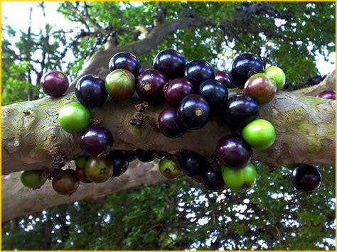 Jual Bibit Buah Gac jual bibit tanaman buah jaboticaba 0878 55000 800 jual