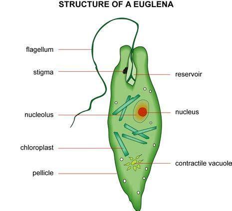 euglena diagram biology sles
