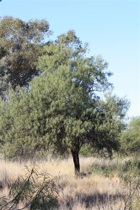 emu bush birds of australia key plants emu bush eremophila