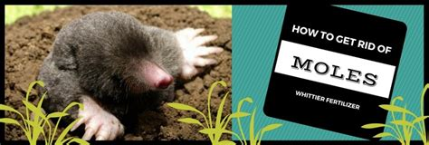 how to get rid of moles in the backyard how to get rid of moles whittierfertilizer com