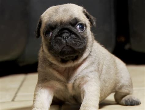 pug home alone 301 moved permanently