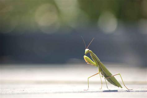 Praying Mantis L by File Praying Mantis Insect Photo Jpg