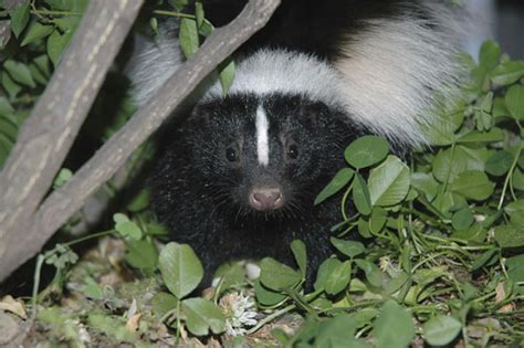 How To Get Rid Of Skunk In Backyard by How To Get Rid Of Skunks From Your Garden Hgtv