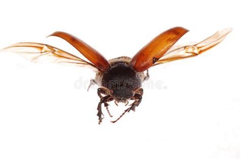 scarabeo volante scarabeo marrone volante dello scarab immagini stock