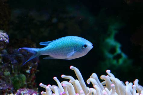 Mini Fish Blue nano fish small size big personalities marine depot