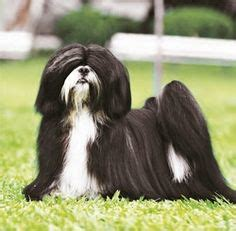 shih tzu lhasa apso expectancy lhasa apso on shih tzu dogs and puppies
