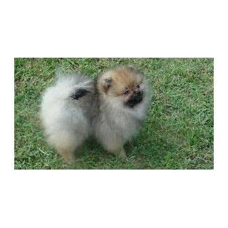 pomeranian san diego best 25 pomeranian breeders ideas on adorable puppies fluffy puppies and