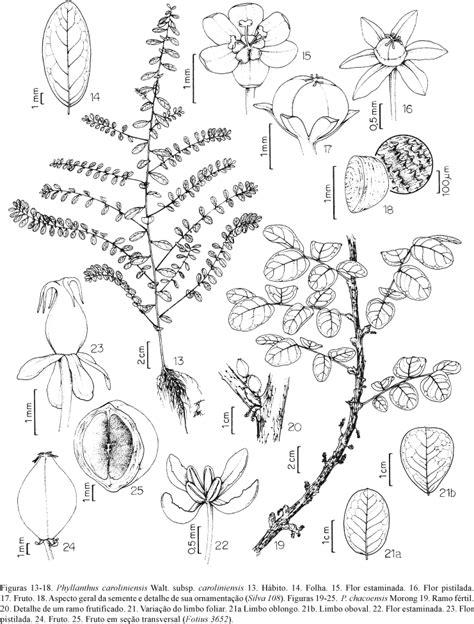 desenho de plantas plantas medicinais 187 desenho planta