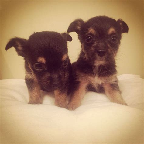 chihuahua x yorkie puppies for sale chihuahua cross terrier puppies for sale essex