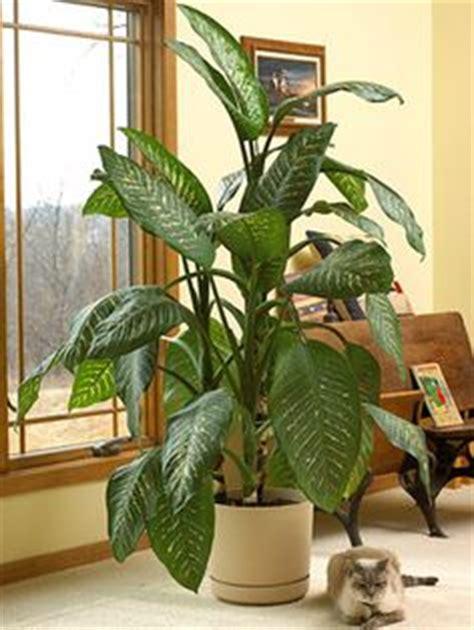 dumb cane dieffenbachia best low light houseplants 1000 images about palm tree houseplants on pinterest