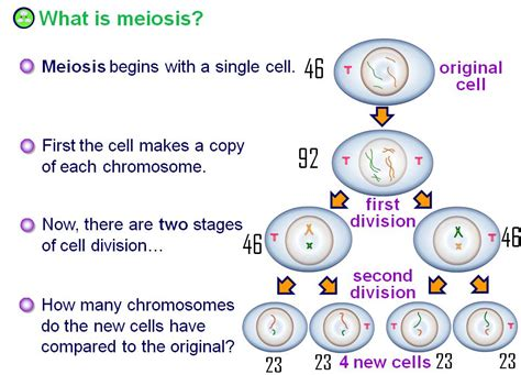 Mitosis And Meiosis Essay by Meiosis Essays