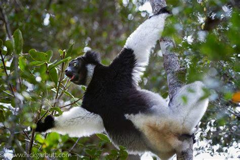 Indri Set tracking an indri indri in madagascar aardvark safaris