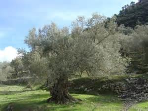 olive tree braley mama i am a wild olive tree