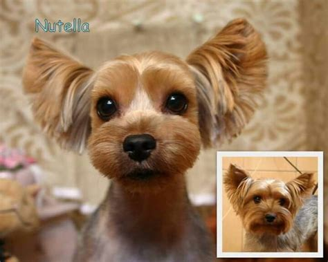 grooming cuts for morkies 17 best yorkies with full tails undocked yorkies images