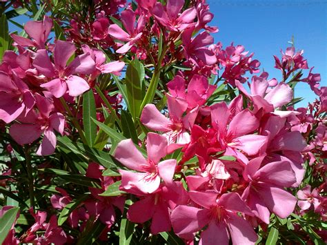 oleander plant pet friendly landscaping extension daily