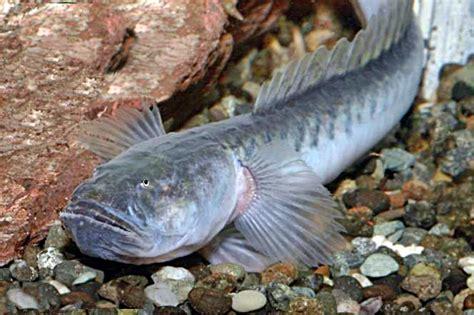 Makanan Ikan Hias Naga mengenal ikan prehistoric goby informasi dunia air