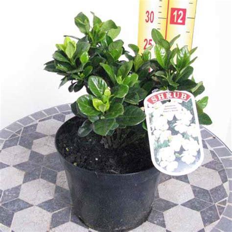 Office Depot Hours Clovis Gardenia Bush For Sale 28 Images August Gardenia For