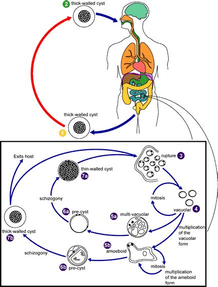 cadena epidemiologica trichuris trichiura blastocystis sp life cycle parasitolog 237 a pinterest