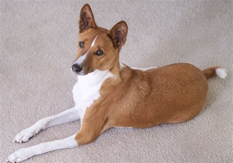 lifespan of dogs basenji pictures diet cycle facts habitat behavior animals
