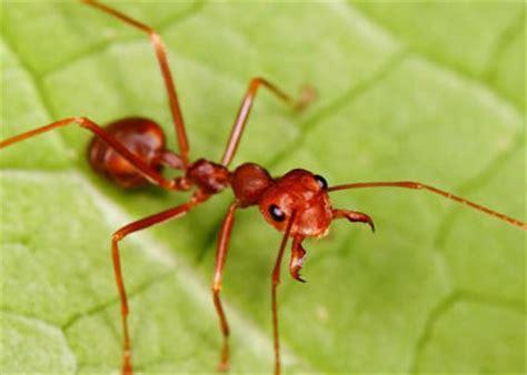 imagenes de hormigas rojas image gallery hormiga