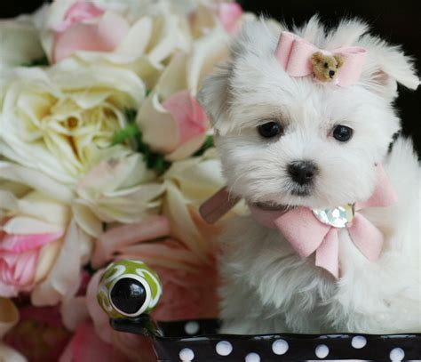 teacup puppies store dog accessories dog supplies giveaway