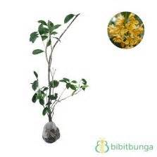 Bibit Tanaman Sweet Osmanthus tanaman cempaka mulya putih white magnolia figo jual