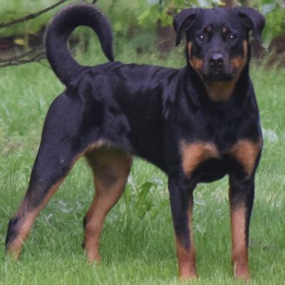 rottweiler adults and youth rottweilers for sale