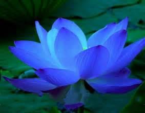 Lotus Bleu Achetez En Gros Fleur De Lotus Bleu En Ligne 224 Des