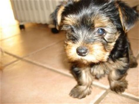 yorkie puppies massachusetts terrier puppies in massachusetts