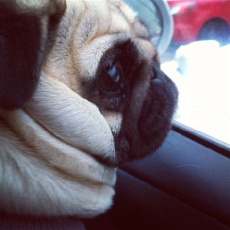 see pug run book 244 best images about pugs on