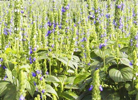 What S New In The Hoss Test Gardens Hoss Tools Chia Flower Garden