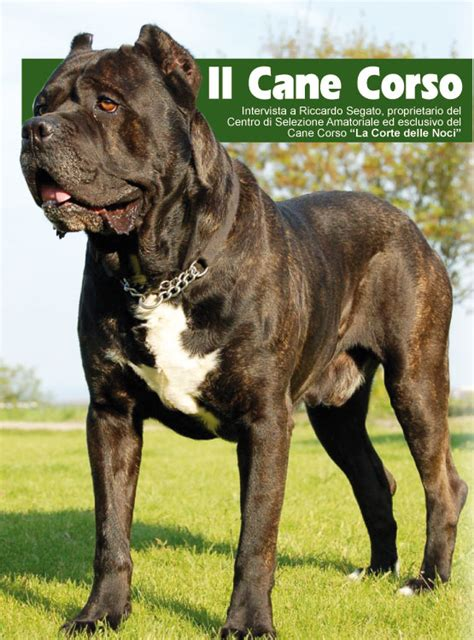 Cane Corso Vs Pitbull Pictures to Pin on Pinterest - PinsDaddy
