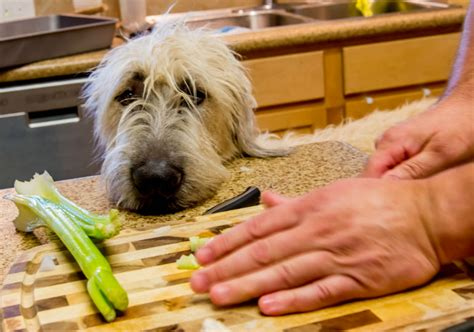 dogs eat celery can dogs eat celery american kennel club