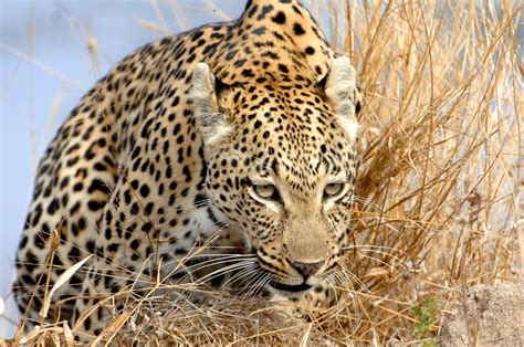 Gamis Leopard see the big cats on safari in africa sandratblog