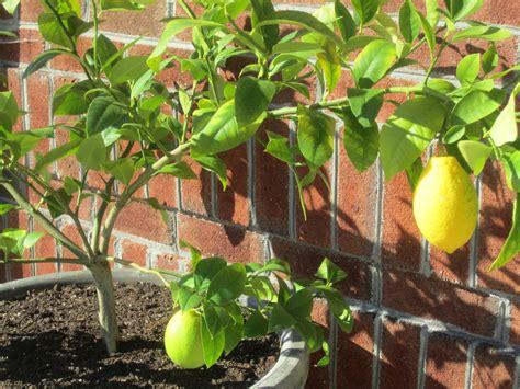 the best 28 images of patio lemon tree care meyer lemon