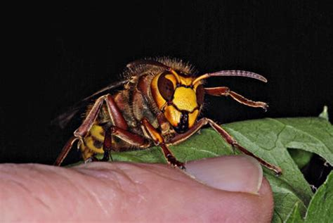 hornets and grapes five stories of encounters in a mediterranean books encounters with hornets in 2011
