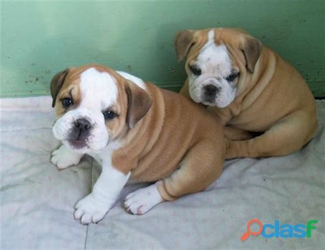 free bulldog puppies all for free adoption only in pakistan clasf animals
